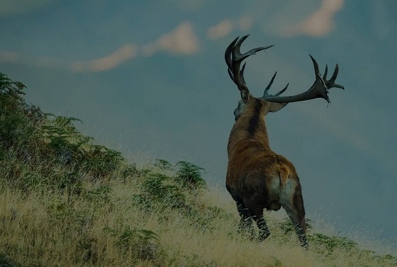 Red Stag Deer Hunting New Zealand, Red Stag Hunting,Monarch Pursuits