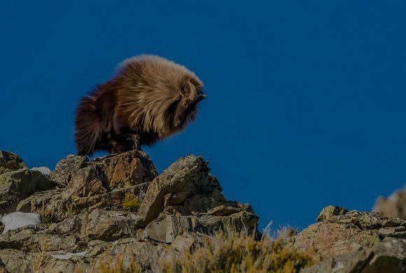 Himalayan Tahr Hunting Trophy Shot, New Zealand Hunting Minaret station